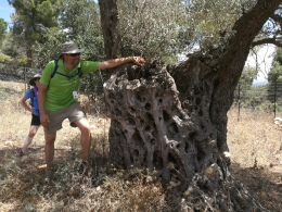 Olive tree stump with netzarim (new shoots)
